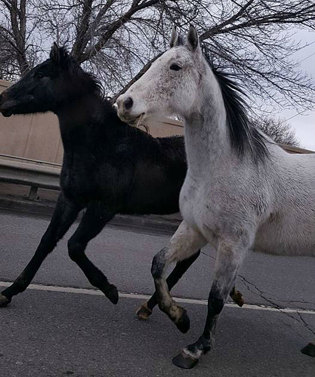 Couple of Horses Take Stroll Down Patterson Road Grand Junction
