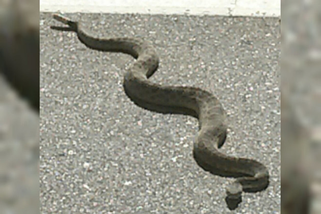 Rattle Snake Craig Colorado
