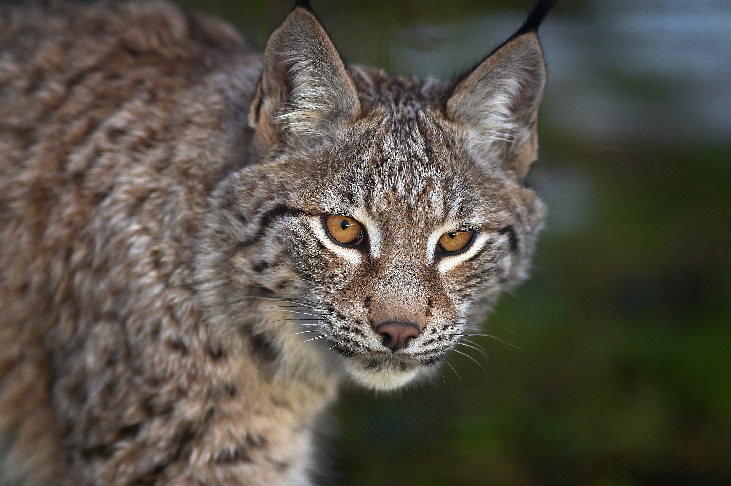 Rare Lynx Spotted on Slopes of Durango Ski Resort