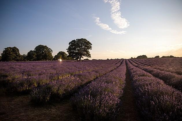 Lavender Fields In The Surrey Hills